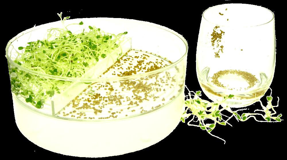 Økologiske spirefrø og spirer i SpirePerlen af FRISKE SPIRER