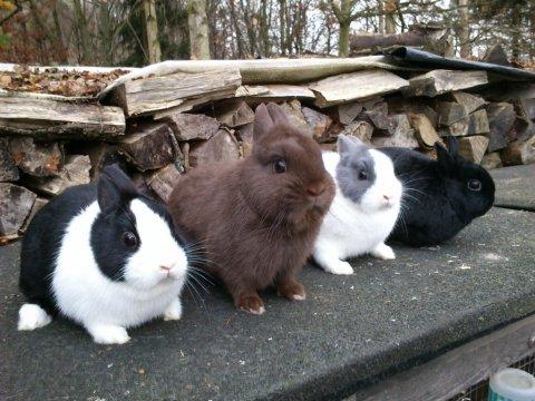 hollænder kanin til salg