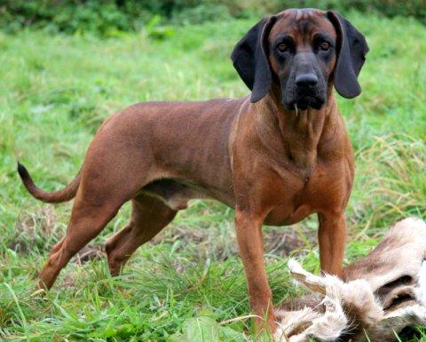 Bayersk vildtsporhund hvalpe til salg