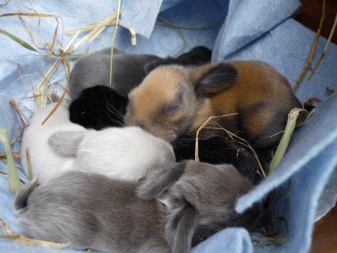 at holde kanin