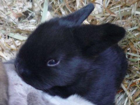 siameser dværgvædder kanin